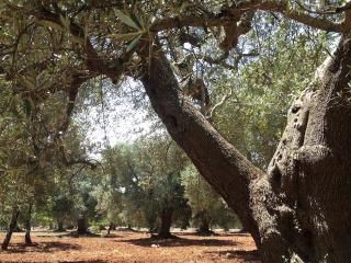 Lovingly rebuilt farmhouse in splendid olive grove, San Vito dei Normanni