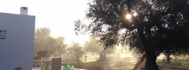 Winter view of the olive grove around the farmhouse.