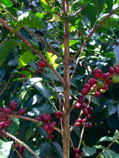 Micro-plantation of Geisha coffee... cherries ripe!