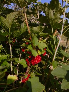 Redcurrants, available in June and early July.
