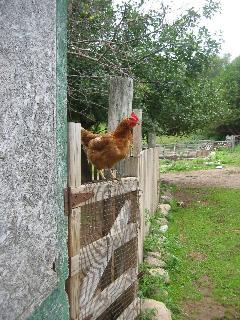 collect farm fresh eggs