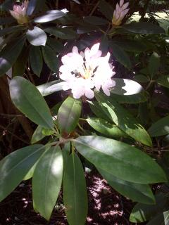 Another native beauty, rhododendron, is also part of the landscape