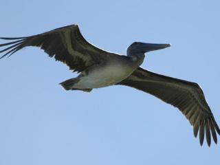 Pelicans soaring overhead