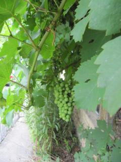 The vine growing on the front of the cottage