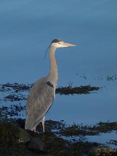 Heron at the shore