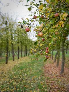 The orchards before cider making begins