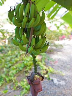 Le régimen de bananes...à déguster si vous avez la chance d'en avoir...