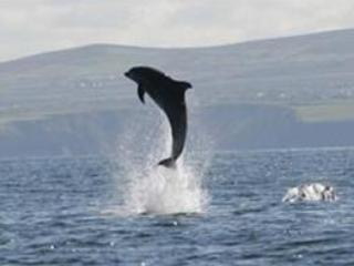 Dolphin watching - a must do! These incredible cruises leave regularly from Carrigaholt and Kilrush
