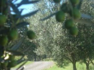 Looking through the olive grove.