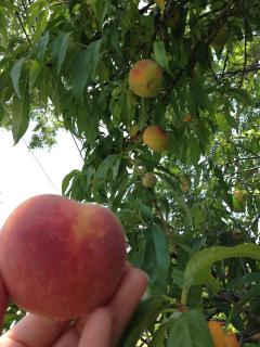 Peaches in early summer!