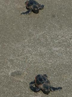 baby turtles that just hatched and are headed to the ocean!
