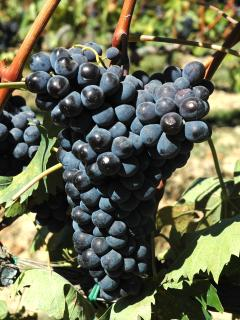 vino Rosso e Brunello di Montalcino, canine di piccoli produttori locali: tutto da scoprire!
