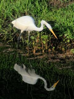 Egrets enjoy catching fish in our lagoon