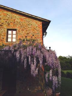 Pergola with spring wisteria blossom