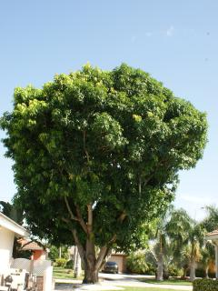 Own Mangoe Tree