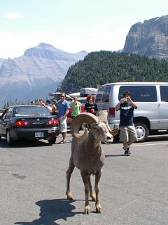 Logan Pass in Glacier National Park - not uncommon and so much fun!