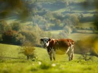 Nos vaches