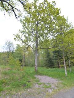 Oak trees in the garden