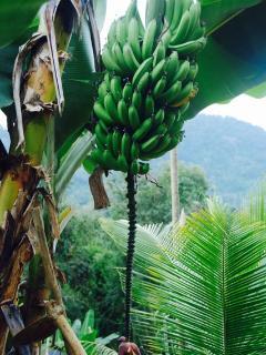 Banana plant.