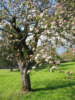 Pommier en fleur dans le jardin