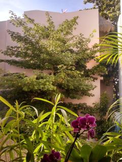 Ceiba, árbol sagrado de los Mayas, al final de nuestro jardín