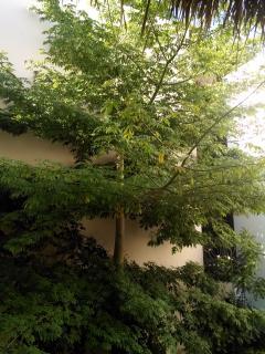 Arbol sagrado Maya CEIBA sus ramas proporcionan un ambiente fresco