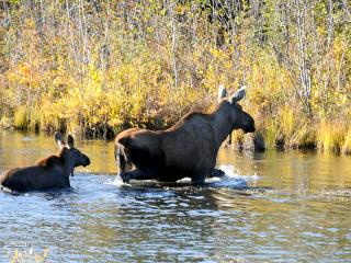 Mom and baby moose in stream in front of Moose Walk Cabin.