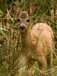 young roe deer. (photo taken from cottage).