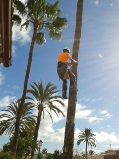 Palmero podando las palmeras
