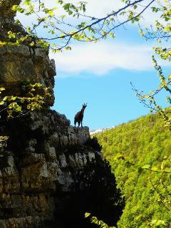 Chamois in the high Majella