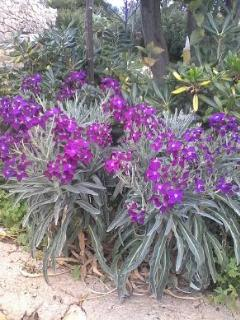 fioritura di piante mediterranee (violaciocca)
