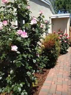 Roses in side yard