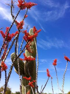 ocotillo in the spring