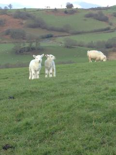 Lambing season is in full swing! You will see lots of sheep and lambs as you approach the cottage!