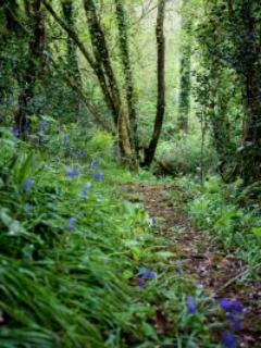 Private woodland with a carpet of bluebells