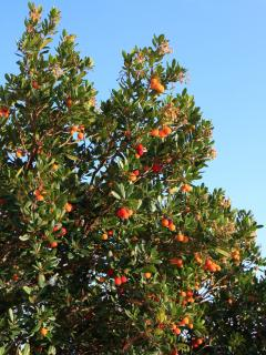 Strawberry tree in the garden, koumaria in greck