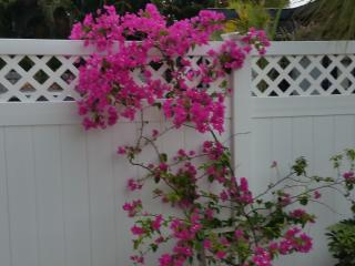 our prized bougainvillea