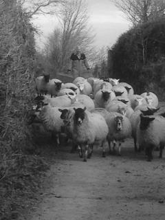 The ewes coming into lamb.