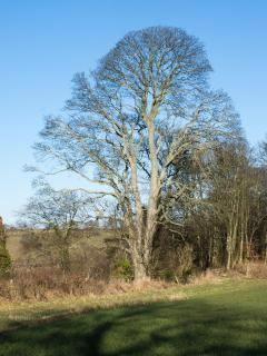 Magnificent sycamore tree top of the cliff near Boathouse Cottage