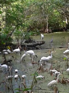 Water birds, Corkscrew Swamp Sanctuary (30 mins. from condo)