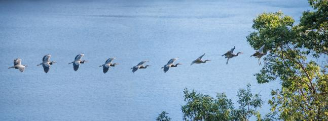 Heron colony flying past