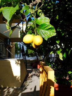 enjoy your coffee under the lemon tree at Jimmy's garden