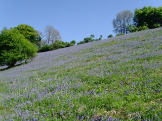 Bluebell bank, short walk from the cottages