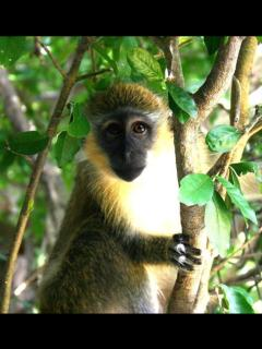 Native Green monkey