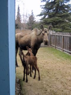 Occasional sightings of moose like these that visited in the backyard before we fenced it.