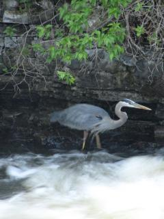 Great Blue Herons fish for their dinner at the falls.