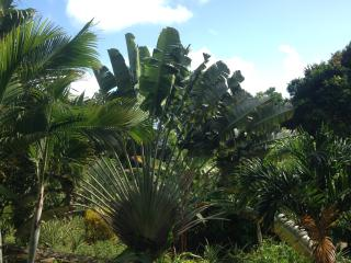 Traveller Palm amidst pineapples, lemons, limes, herbs and other delightful fruits and vegetables.