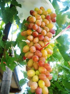 Try our sweet juicy grapes. Or other seasonal fruit grown by Andreas and Anna.