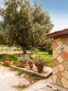 2nd big olive tree.