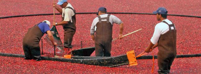Fall Cranberry harvest at local farms.